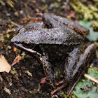 Iberian frog, rana patilarga