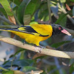 Black headed golden oriole by Rajkumar Biswas - Animals Birds