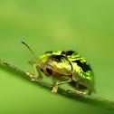 甘藷龜金花蟲