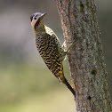 Green-barred woodpeckers