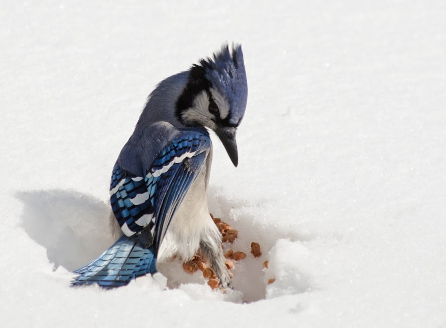 Tricky Landing by Jeff Galbraith - Animals Birds ( bird, peanuts, winter, cold, blue, snow, jay )