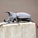 Rhinoceros Beetle (Male)