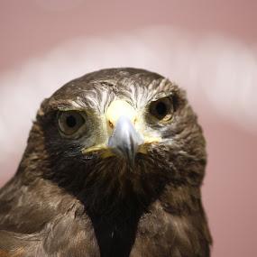Serious Hawk  by Beth Phifer - Animals Birds ( stare, nature close up, feathers, birds, hawk, eyes, bird, birds of prey, nature, beak, nature up close, raptor, raptors )