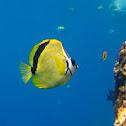 Butterfly barberfish
