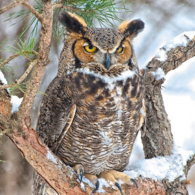 Watching You Watching Me by Betty Arnold - Animals Birds ( bird, bird of prey, owl, great horned owl, animal,  )