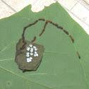 io moth larvae