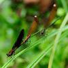 Copper Demoiselle, Caballito del Diablo de alas negras