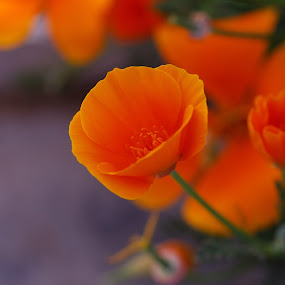 9 de noviembre by Daniel Sapag - Flowers Flower Gardens ( jardin, flores, primavera, naranja, naturaleza )