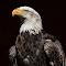 Eagle_P1070777.jpg
