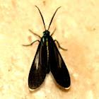 Uranophora leucotelus