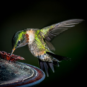 ruby 10 by Gregg Pratt - Animals Birds ( hummingbird )