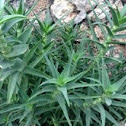 Climbing Aloe