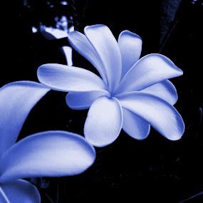 Night Flower by Vaibhav Nahar - Flowers Flowers in the Wild ( blue, wildflower, dark, night, flower )