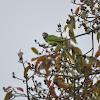 Female Plum-headed Parakeet
