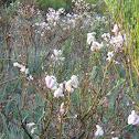 Rebollo- Pyrenean oak
