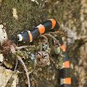 Coral gargantilla, Many-banded Coralsnake