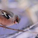 Pinsà (Common Chaffinch)