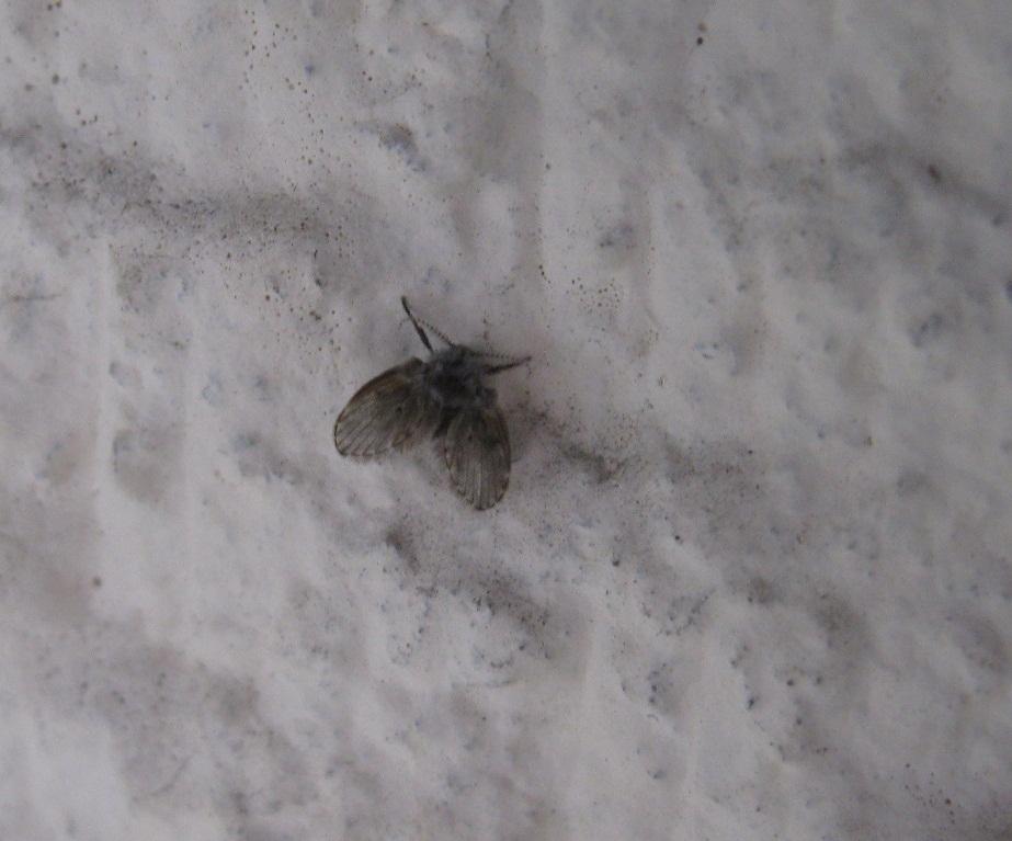 Moth flies