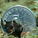Occelated Frogfish