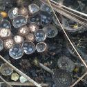 Bird Nest Fungi