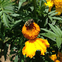 French Marigold and Bumblebee