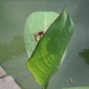 Dragonflies (mating pair)