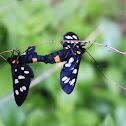 Nine-spotted moth - Běloskvrnáč pampeliškový