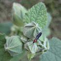Hollyhock Sawfly