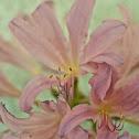 Belladonna Lily (Naked Ladies)