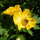 Wood Poppy or CelandinePoppy