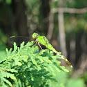 common pondhawk female