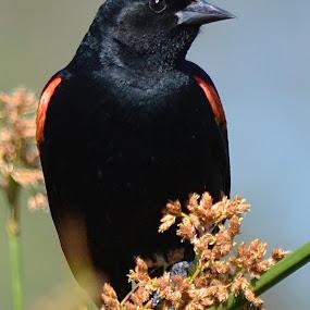 Redwing Blackbird by Ed Hanson - Animals Birds ( bird, nature, close-up, black )