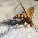 Pacific Cicada-killer Wasp