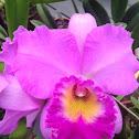 Brassolaeliocattleya hybrid