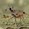 Assassin Bug Nymphs