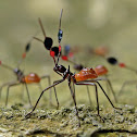 Assassin Bug Nymphs