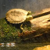 Northern (Common) Map Turtle