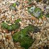 Xanthoparmelia Lichen