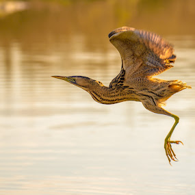 bittern by Albergamo Paolo - Animals Birds ( bird, animals, paolo albergamo, nature, oasi )