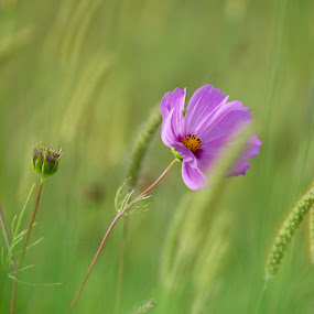 meadowbliss by Annette Flottwell - Flowers Flowers in the Wild ( wheat, summer, cosmos, pink,  )