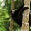 Western Hoolock Gibbon Male & Female
