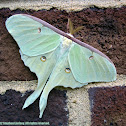 Luna Moth