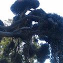 Keatley Tea Tree