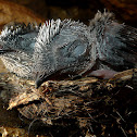 Grey Swiftlet Chicks