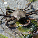 Northern Kelp Crab