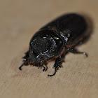 Indian rhinoceros beetle