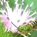 Bicolored Agapostemon