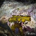 Polyclad Flatworm