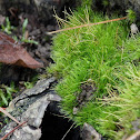 Wind-blown moss, fork moss