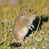 Kam dwarf hamster
